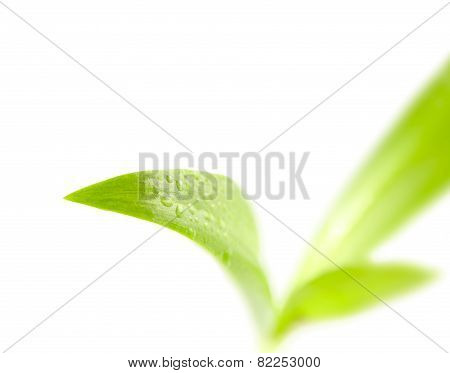 Few Leaves A Plant With Drops Of Dew Isolated On White Background