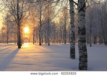 Winter Landscape With White Birch Trees And The Sun Through The Trees.