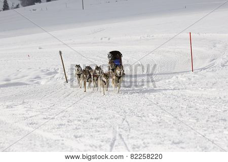 Husky Sled Dogs Running In Snow