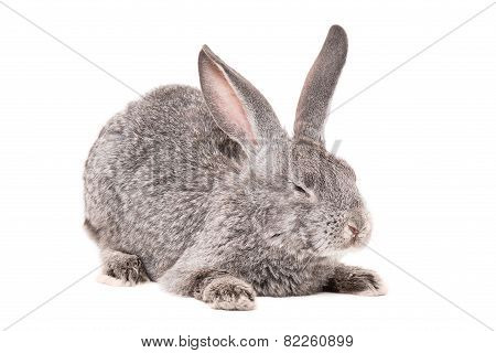 Sleeping gray rabbit