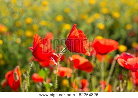 close up of a wild poppies field-shallow DOF