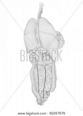 Concept conceptual anatomical human woman 3D black wireframe mesh digestive system isolated on white background