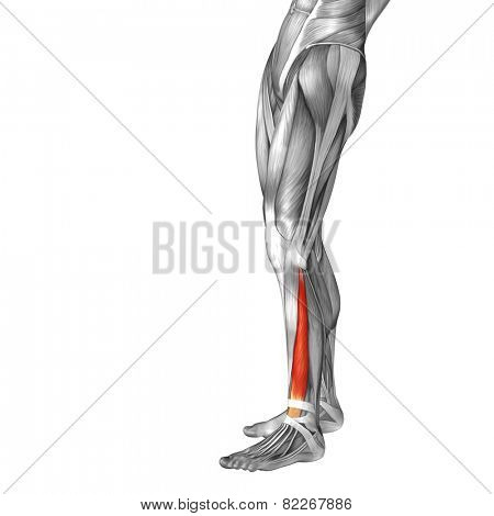 Concept or conceptual 3D extensor digitorum longus human lower leg anatomy or anatomical and muscle isolated on white background