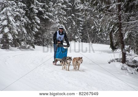 Dog Sledding With Huskies