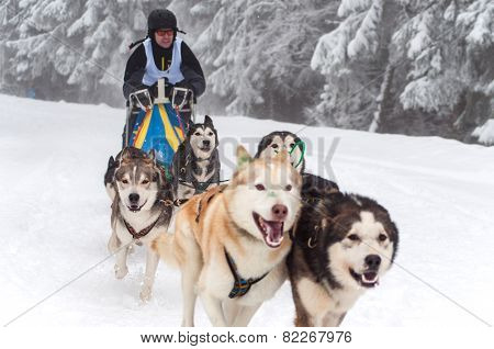 Dog Sledding With Husky Dogs