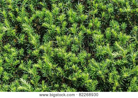 Close up of foliage of a beautiful yew hedge.