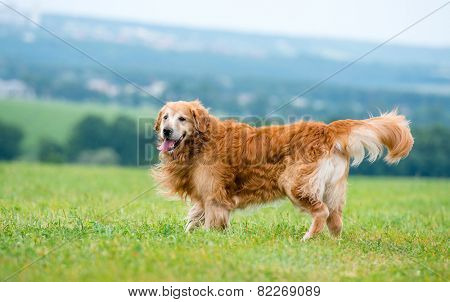 dog breed golden retriever lying in the field