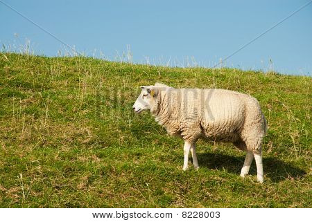 White Sheep In Grass Dike