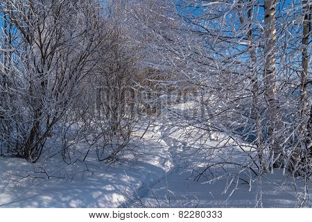 Winter Forest Snow Hoarfrost
