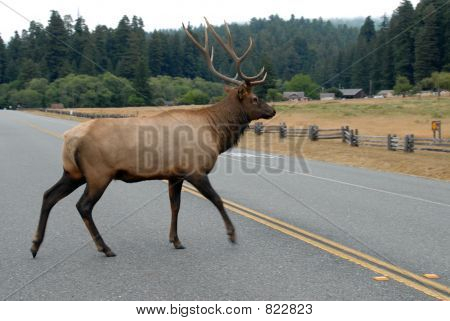 Elk crossing the road