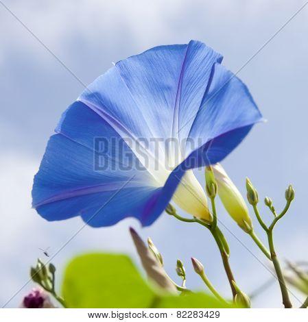 Blue Ipomoea, Sunny