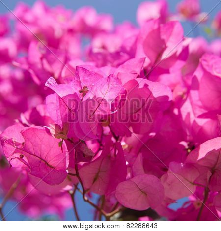 Bright Magenta Bougainvillea, Sunny Conditions