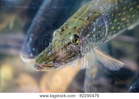 Pike Fish In Aquarium Or Reservoir Ubder Water