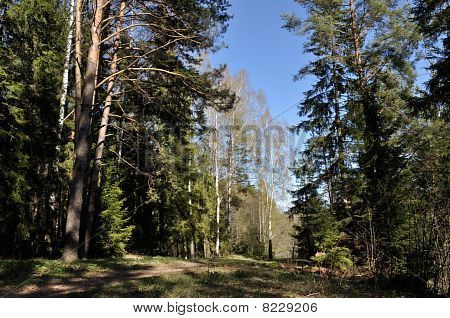 Belorussian Spring Forest Landscape