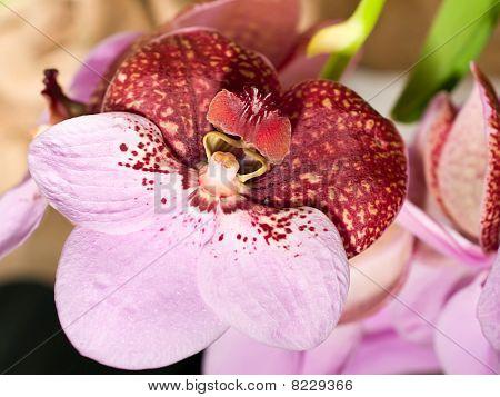 Cymbidium Or Orchid Flower In Keukenhof