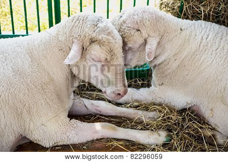 Sheeps Or Goats In Cell On Farm