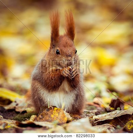 Red Eurasian squirrel sitting on the road