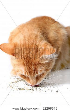 Kitty Eating Catnip