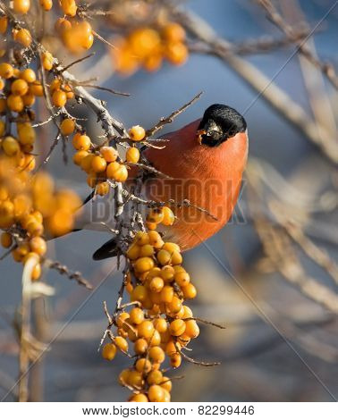 Bullfinch on branch of Sea-buckthorn