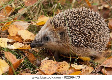 European hedgehog in forest