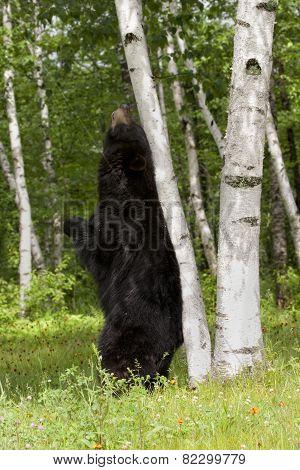 Black Bear Scent Marking on Birch Tree
