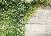 picture of creeper  - The Green Creeper Plant on the Wall - JPG