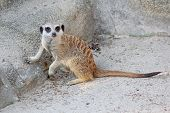 foto of meerkats  - Curious young meerkat with a long tail looking at the camera - JPG