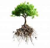 stock photo of greenery  - tree with roots isolated on white background - JPG
