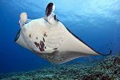 foto of manta ray  - A coastal manta ray  - JPG