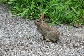 picture of peter cottontail  - Cottontail Rabbit  - JPG