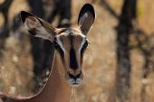stock photo of endangered species  - Close up head black-faced impala in Namibia. Endangered specie Africa.
