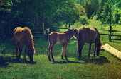picture of bay horse  - Bay horses with foal grazes on the green mountains meadow - JPG