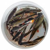pic of caught  - Fresh fish rudd caught on a fishing rod in a plastic bucket isolated on white background - JPG