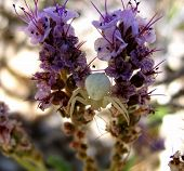 picture of xeriscape  - white spider stalking on a purple flower - JPG