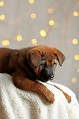 picture of christmas puppy  - Cute puppy on Christmas lights background - JPG