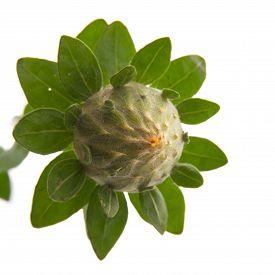 picture of substitutes  - safflower flower - JPG
