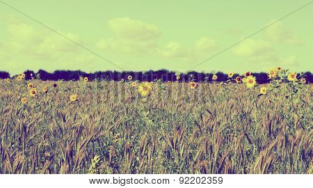 sparse sunflowers