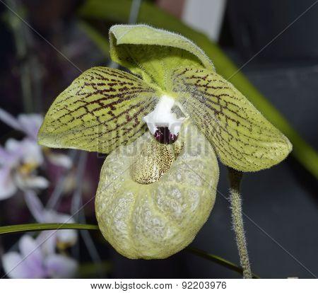 Malipo Paphiopedilum Slipper Orchid