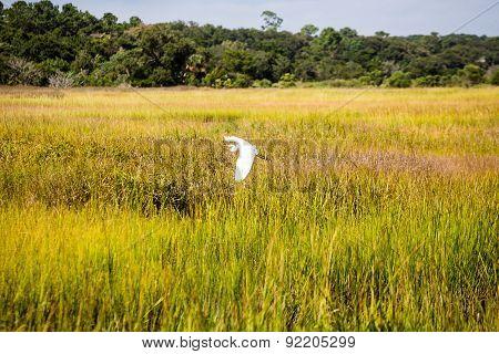 Egret Flying Low Across Grass