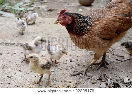 Way of Life Mother hens and little baby chick