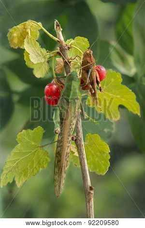 two locust sits on a branch of red currants