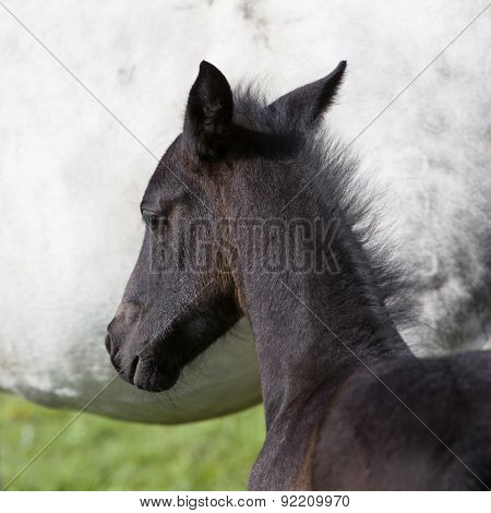 Dark Brown Foal Against White Background Of Mare