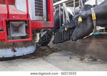 Black And White Cows In Stable Reach For Food From Feeding Robot