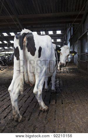 Black And White Cow Stands In Stable En Looks Back At Camera