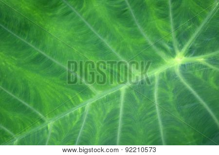 Green tropical leaf background - Giant Upright Elephant Ear close-up