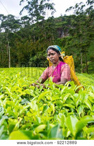 A tamil woman from sri lanka breaks tea leaves