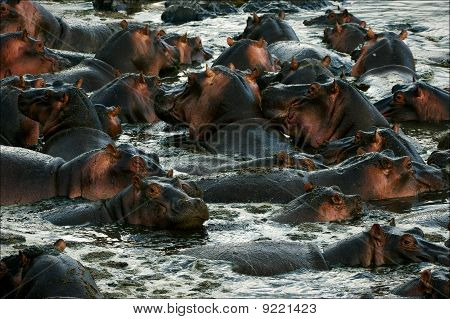 The Herd Of Hippopotamuses Bathes.