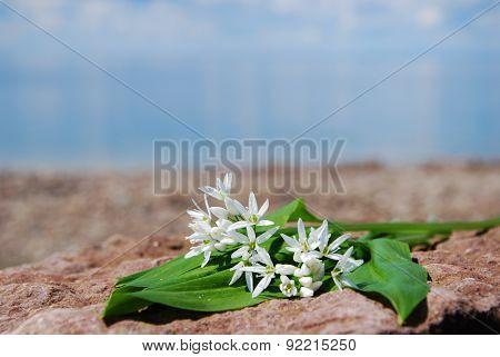 Fresh Wood Garlic