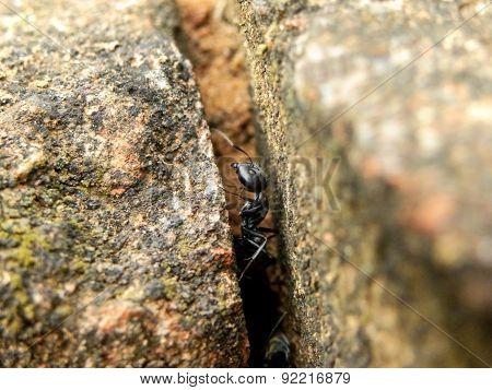 Carpenter Ant in bricks