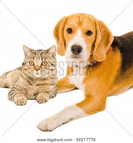 Portrait of a beagle and cat Scottish Straight together